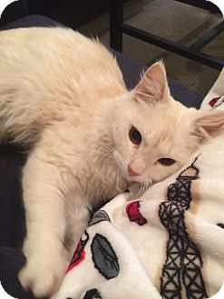Domestic Mediumhair Cat for adoption in Gainesville, Florida - Bud