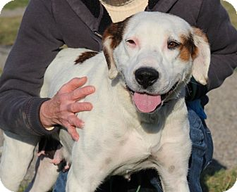American Bulldog/Hound (Unknown Type) Mix Dog for adoption in Elyria, Ohio - Molly