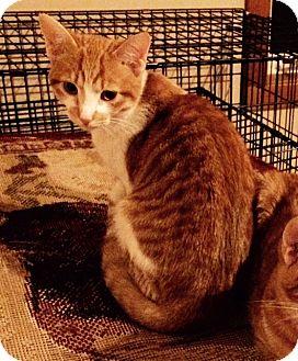 Domestic Shorthair Cat for adoption in Wayland, Michigan - Jake
