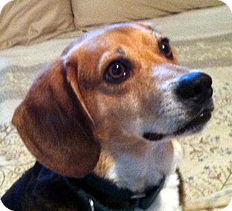 Beagle Mix Dog for adoption in Houston, Texas - Rory