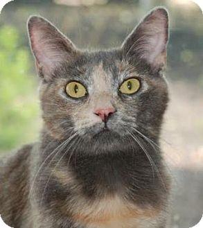 Domestic Shorthair Cat for adoption in Walworth, New York - Honey