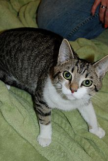 American Shorthair Kitten for adoption in Salem, West Virginia - Striper