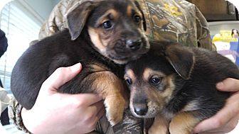 German Shepherd Dog Mix Puppy for adoption in Houston, Texas - Carl