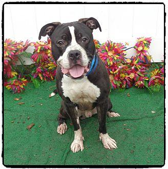 American Bulldog/Boxer Mix Dog for adoption in Marietta, Georgia - CHALKIE