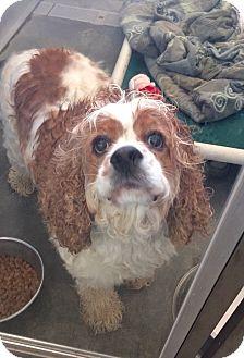 Cocker Spaniel Mix Dog for adoption in Wilmington, Delaware - Kobe