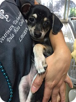 Manchester Terrier/Dachshund Mix Puppy for adoption in Fair Oaks Ranch, Texas - Libby