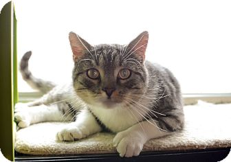 British Shorthair Cat for adoption in Eureka, California - Chico