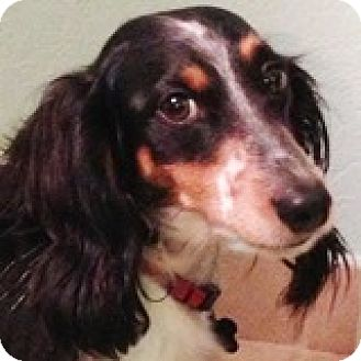 Dachshund Dog for adoption in Houston, Texas - Puddy Punt