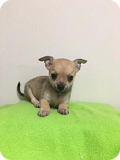 Chihuahua Mix Puppy for adoption in Baton Rouge, Louisiana - Max