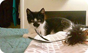 Domestic Shorthair Kitten for adoption in Colmar, Pennsylvania - Zoey