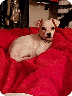 Chihuahua Mix Puppy for adoption in Bronx, New York - Lola