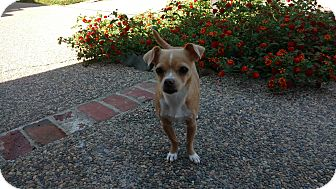 Pug/Chihuahua Mix Dog for adoption in Lodi, California - Lily