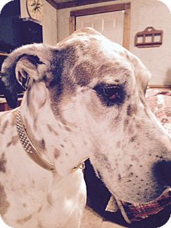 Great Dane Dog for adoption in Plymouth, Michigan - Ziva