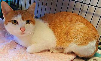 American Bobtail Cat for adoption in Wapakoneta, Ohio - Suzy