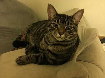 Domestic Shorthair Kitten for adoption in New City, New York - Sonny Boy-20 week old kitten