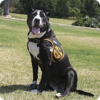 Adopt A Pet :: Sashay - Santa Barbara, CA