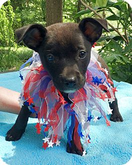 Labrador Retriever Mix Puppy for adoption in Olive Branch, Mississippi - Andrew Pup #1