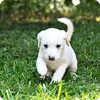 Adopt A Pet :: Ilsa - South Dennis, MA