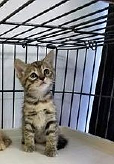Domestic Mediumhair Kitten for adoption in Asheville, North Carolina - Louise- McDowell
