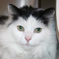 Adopt A Pet :: MORTICIA - Newport News, VA
