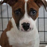 Adopt A Pet :: Boxer boys - Pompton Lakes, NJ