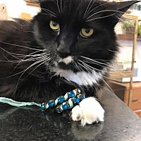 Domestic Longhair Cat for adoption in Douglas, Wyoming - Stevie