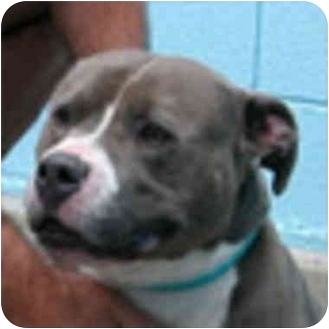 American Pit Bull Terrier Mix Dog for adoption in Berkeley, California - Vito
