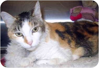 Calico Cat for adoption in Grass Valley, California - Gigi