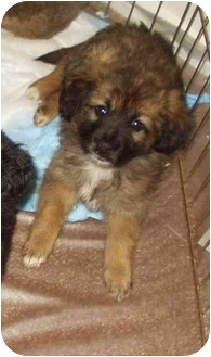 Australian Shepherd/Sheltie, Shetland Sheepdog Mix Puppy for adoption in Boonton, New Jersey - SHELLY