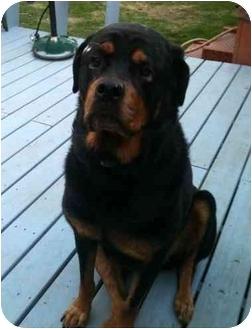 Rottweiler Mix Dog for adoption in Troy, Michigan - Diesel
