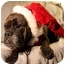 Photo 1 - English Bulldog Dog for adoption in Park Ridge, Illinois - EllaBella