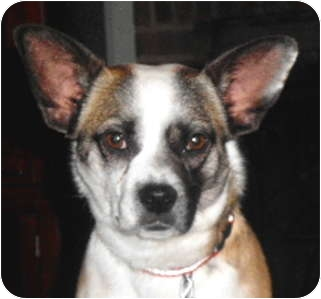 Boston Terrier/Corgi Mix Dog for adoption in North Augusta, South Carolina - PEARLIE