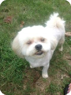 Maltese/Shih Tzu Mix Dog for adoption in Mary Esther, Florida - Aspen