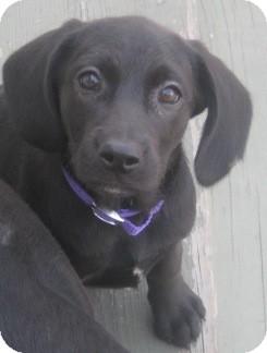 Labrador Retriever/Pointer Mix Puppy for adoption in Chicago, Illinois - Emily
