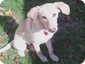 Labrador Retriever Mix Dog for adoption in Preston, Connecticut - Maggie