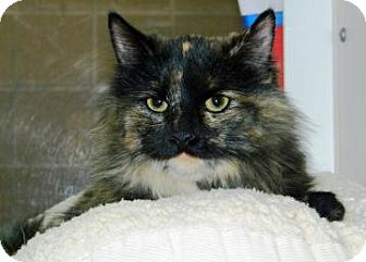Domestic Mediumhair Cat for adoption in Cheyenne, Wyoming - Anastasia