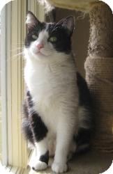 Domestic Shorthair Cat for adoption in Appleton, Wisconsin - Maggie May
