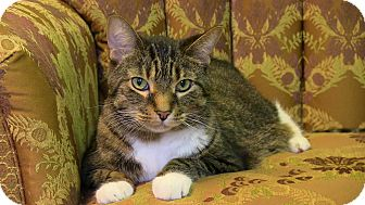 Domestic Shorthair Cat for adoption in Naples, Florida - Harry SC