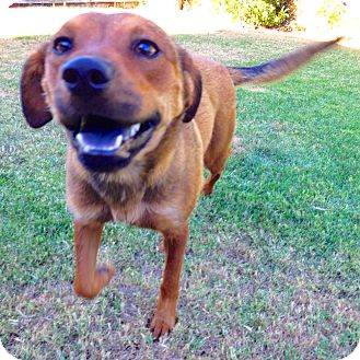 Vizsla/Rhodesian Ridgeback Mix Dog for adoption in Los Angeles, California - Delilah
