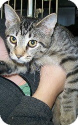 Domestic Shorthair Kitten for adoption in Anderson, Indiana - Slip