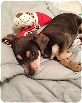 Chihuahua Mix Puppy for adoption in Las Vegas, Nevada - Bella