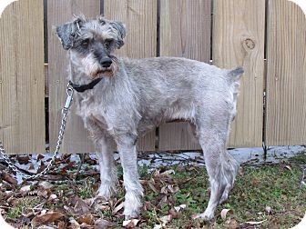 Schnauzer (Miniature) Dog for adoption in Bedminster, New Jersey - MANDY
