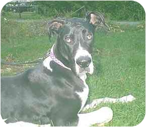 Great Dane Dog for adoption in Steger, Illinois - Ox