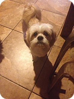 Shih Tzu/Lhasa Apso Mix Dog for adoption in Homer, New York - Stormy