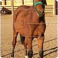 Adopt A Pet :: Rosie - Pueblo, CO