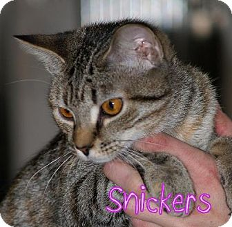 Domestic Shorthair Cat for adoption in Lewisburg, West Virginia - Snickers