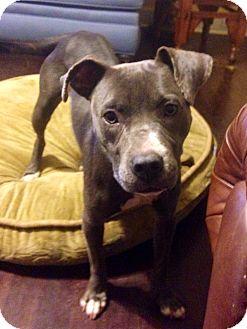 Labrador Retriever/Boxer Mix Dog for adoption in MILWAUKEE, Wisconsin - Gracie