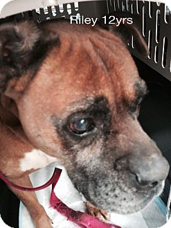 Boxer Mix Dog for adoption in Chapmanville, West Virginia - Riley