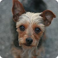 Adopt A Pet :: Shana - Canoga Park, CA