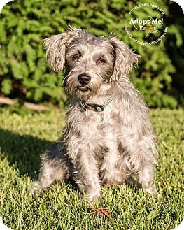 Schnauzer (Miniature)/Shih Tzu Mix Dog for adoption in Cincinnati, Ohio - Maybelle